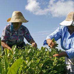 В республике Адыгея собираются развивать новый туристский бренд – самый северный чай