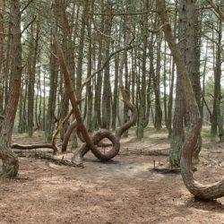 «Пьяный лес» или «Танцующий лес»