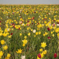 В Саратове пройдет Фестиваль тюльпанов