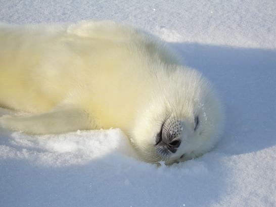 Необычный Архангельск: где увидеть гренландских тюленей?